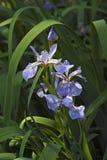 Flores Siberian da íris Imagens de Stock