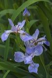 Flores Siberian da íris Fotografia de Stock Royalty Free