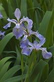 Flores Siberian da íris Fotos de Stock