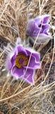 flores siberianas de la primavera de la estepa foto de archivo libre de regalías