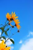 Flores sobre azul Imágenes de archivo libres de regalías