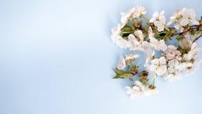 Flores sobre fondo azul de la tabla contexto con el espacio de la copia fotos de archivo libres de regalías