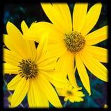 Flores soleadas Imagenes de archivo
