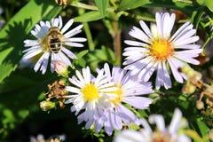 Flores soleadas encantadoras y avispa hermosa contra la perspectiva de la hierba imagen de archivo