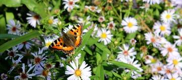 Flores soleadas encantadoras y mariposa bonita contra la perspectiva de la hierba Imagen de archivo