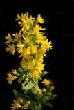 Flores - solidago, montaña amarilla oscura Uzbekistán Fotos de archivo