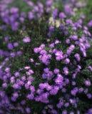 Flores sonhadoras Imagens de Stock Royalty Free