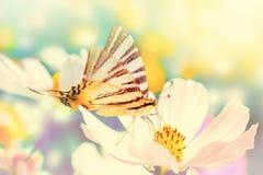 Flores sonhadoras do cosmos, borboleta contra a luz solar Macro com foco macio Vintage pastel tonificado Elegante pairoso transpa foto de stock royalty free