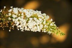 Flores Spicate, fortuna del lindleyana de Buddleja fotos de archivo libres de regalías
