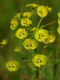 Flores Spurge fotos de archivo