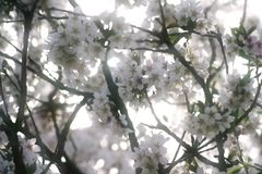 Flores suaves blancos del melocotón Fotografía de archivo libre de regalías