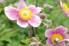 Flores suaves de la anémona del color de rosa del terciopelo Imagen de archivo