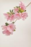 Flores suaves de la azalea del rosa en colores pastel Fotos de archivo libres de regalías