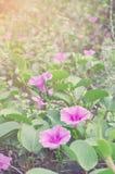 Flores suaves de la correhuela de la playa del foco con los rayos de sol Imagen de archivo libre de regalías