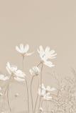 Flores suaves del cosmos Foto de archivo libre de regalías