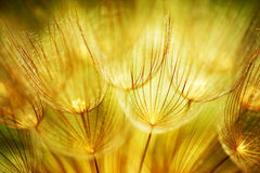 Flores suaves del diente de león Imágenes de archivo libres de regalías