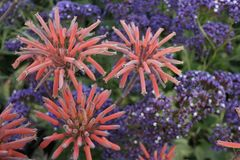 Flores suculentas Foto de archivo libre de regalías