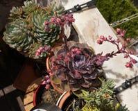 Flores suculentas de las flores de las plantas, púrpuras y rosadas, jardín del flor Foto de archivo libre de regalías