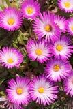 Flores surafricanas rosadas de Vygie Foto de archivo libre de regalías