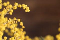 Flores surpreendentes da mimosa em um fundo de madeira Fotografia de Stock