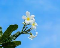Flores tailandesas brancas de Champaka Imagem de Stock