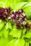 Flores tailandesas de la albahaca dulce foto de archivo
