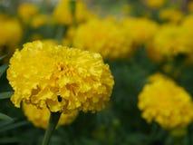 Flores tailandesas do cravo-de-defunto Fotografia de Stock Royalty Free