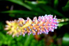 flores tailandesas tailandesas de Doi Inthanon fotografia de stock
