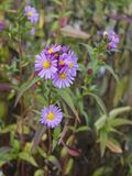 Flores tardes do lilac Imagens de Stock Royalty Free