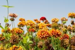 Flores teñidas naranja del gazania en el jardín Fotos de archivo libres de regalías