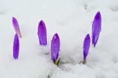 Flores tempranas de la primavera Fotografía de archivo