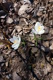 Flores tempranas de la primavera: azafranes blancas imagenes de archivo
