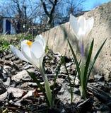 Flores tempranas de la primavera: azafranes blancas fotografía de archivo