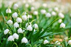 Flores tempranas del copo de nieve de la primavera Foto de archivo libre de regalías