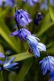 flores tempranas del resorte Imagenes de archivo