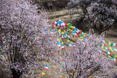 Flores tibetanos salvajes del melocotón Foto de archivo