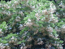 Flores tilliae kwiaty Zdjęcia Stock