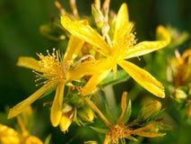 Flores torradas amarelas na mola Imagem de Stock Royalty Free