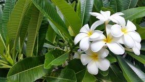 Flores tropicais bonitas do Frangipani na árvore Imagem de Stock