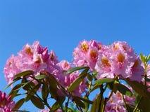 Flores tropicais bonitas do rododendro Plantas de florescência agradáveis no jardim botânico Foto de Stock
