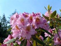 Flores tropicais bonitas do rododendro Plantas de florescência agradáveis no jardim botânico Imagens de Stock Royalty Free