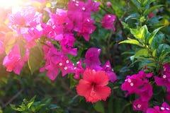 Flores tropicais bonitas, o ratut do strizhennom de Bush muitas cores suculentas brilhantes em climas quentes tropical Fotografia de Stock Royalty Free