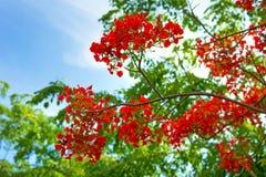Flores tropicais bonitas, o ratut do strizhennom de Bush muitas cores suculentas brilhantes em climas quentes tropical Foto de Stock