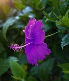 Flores tropicais bonitas, o ratut do strizhennom de Bush muitas cores suculentas brilhantes em climas quentes tropical Fotos de Stock