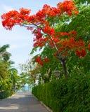 Flores tropicais bonitas, o ratut do strizhennom de Bush muitas cores suculentas brilhantes em climas quentes tropical Fotos de Stock Royalty Free