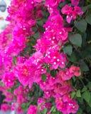 Flores tropicais bonitas, o ratut do strizhennom de Bush muitas cores suculentas brilhantes em climas quentes tropical Fotografia de Stock