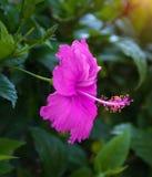 Flores tropicais bonitas, o ratut do strizhennom de Bush muitas cores suculentas brilhantes em climas quentes tropical Imagens de Stock