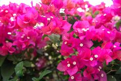 Flores tropicais bonitas, o ratut do strizhennom de Bush muitas cores suculentas brilhantes em climas quentes tropical Foto de Stock Royalty Free