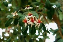Flores tropicais brancas em uma árvore imagens de stock
