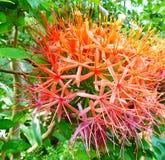 Flores tropicais coloridas brilhantes de Scadoxus Multiflorus Katherinae Fotos de Stock